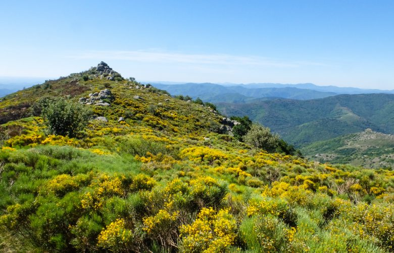 Moor with blooming brooms in the Cevennes mountains near Viallas, France